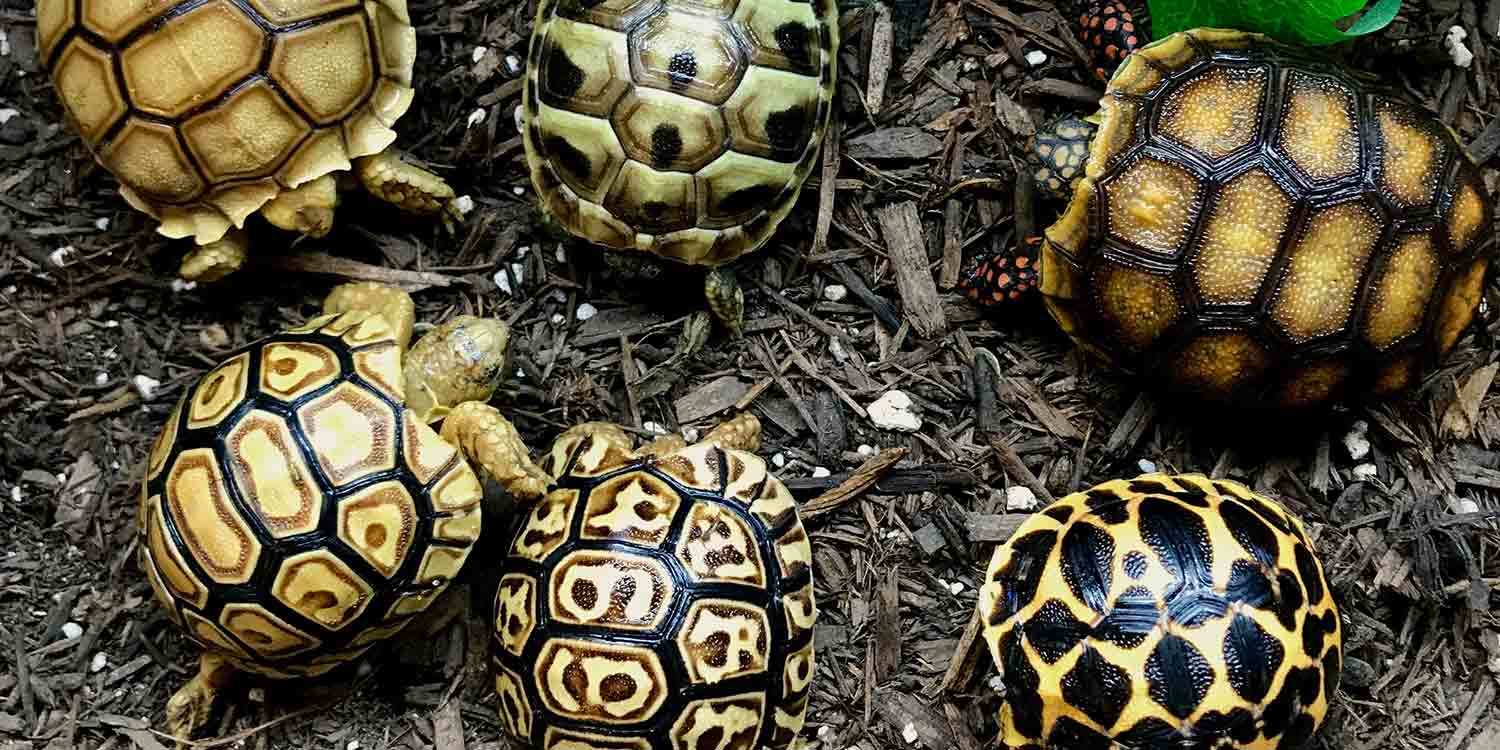 Tortoise For Sale Baby Turtles For Sale Tortoise
