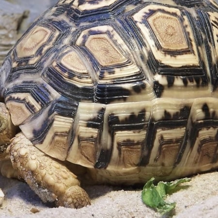 adult leopard tortoise for sale