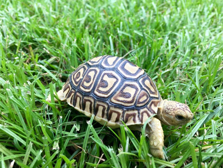 leopard tortoise for sale baby leopard tortoises for sale