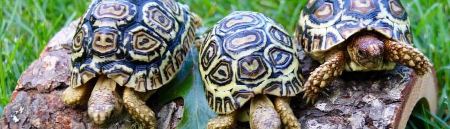 giant south african leopard tortoise