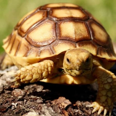 Image result for baby sulcata tortoise