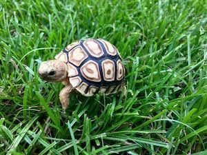 baby leopard tortoise for sale