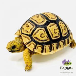 baby leopard tortoises