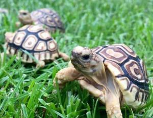 baby leopard tortoise care sheet | diet | lifespan | habitat ...
