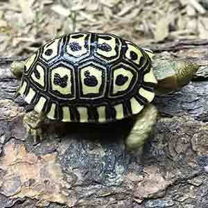 leopard tortoise for sale cheap