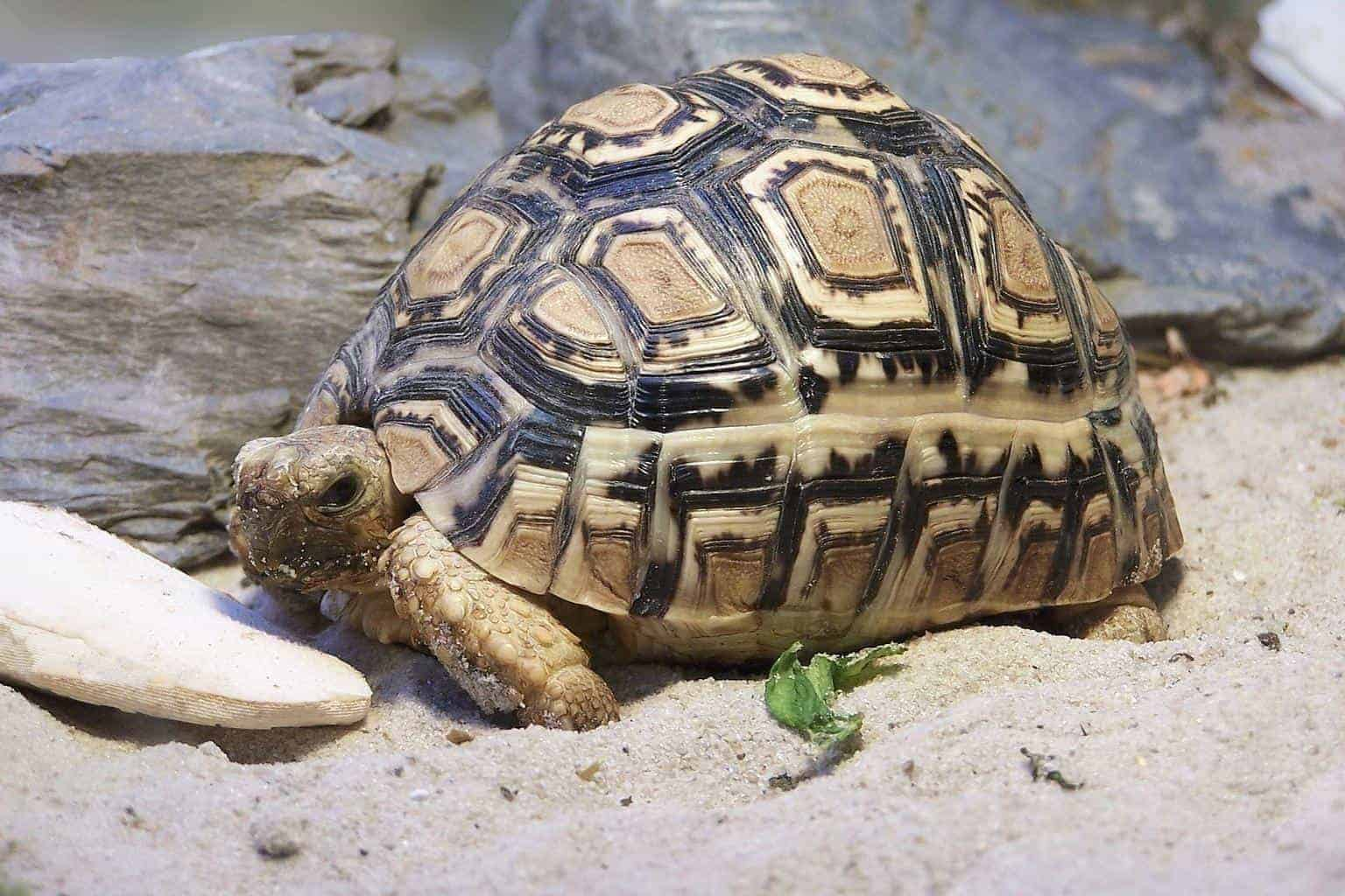 Sub Adult Leopard Tortoise For Sale Baby Pardalis Babcocki