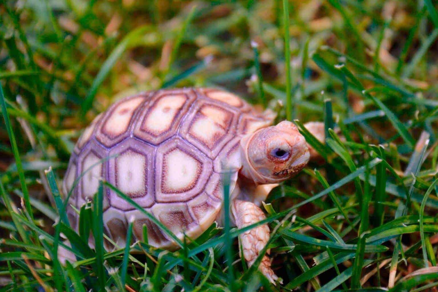 Sulcata Tortoise For Sale Buy Baby Sulcata Tortoise