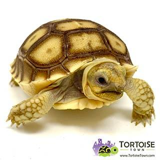 African Sulcata for sale