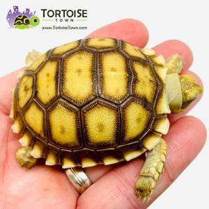 African Sulcata tortoise for sale