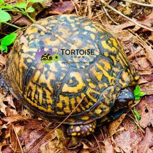 Eastern box turtle sale