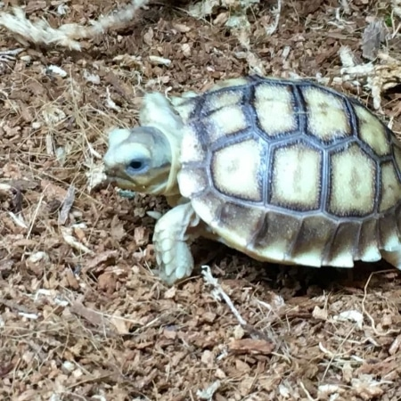 sulcata tortoise for sale