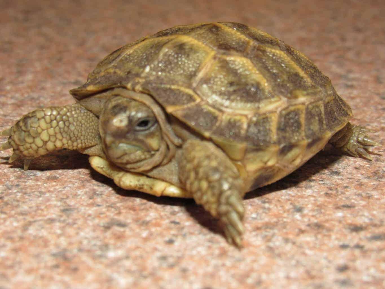 Tortoiseshell Cat Lifespan
