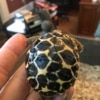 burmese star tortoise baby for sale