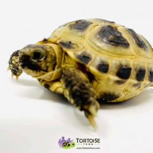 Russian tortoise breeders near me