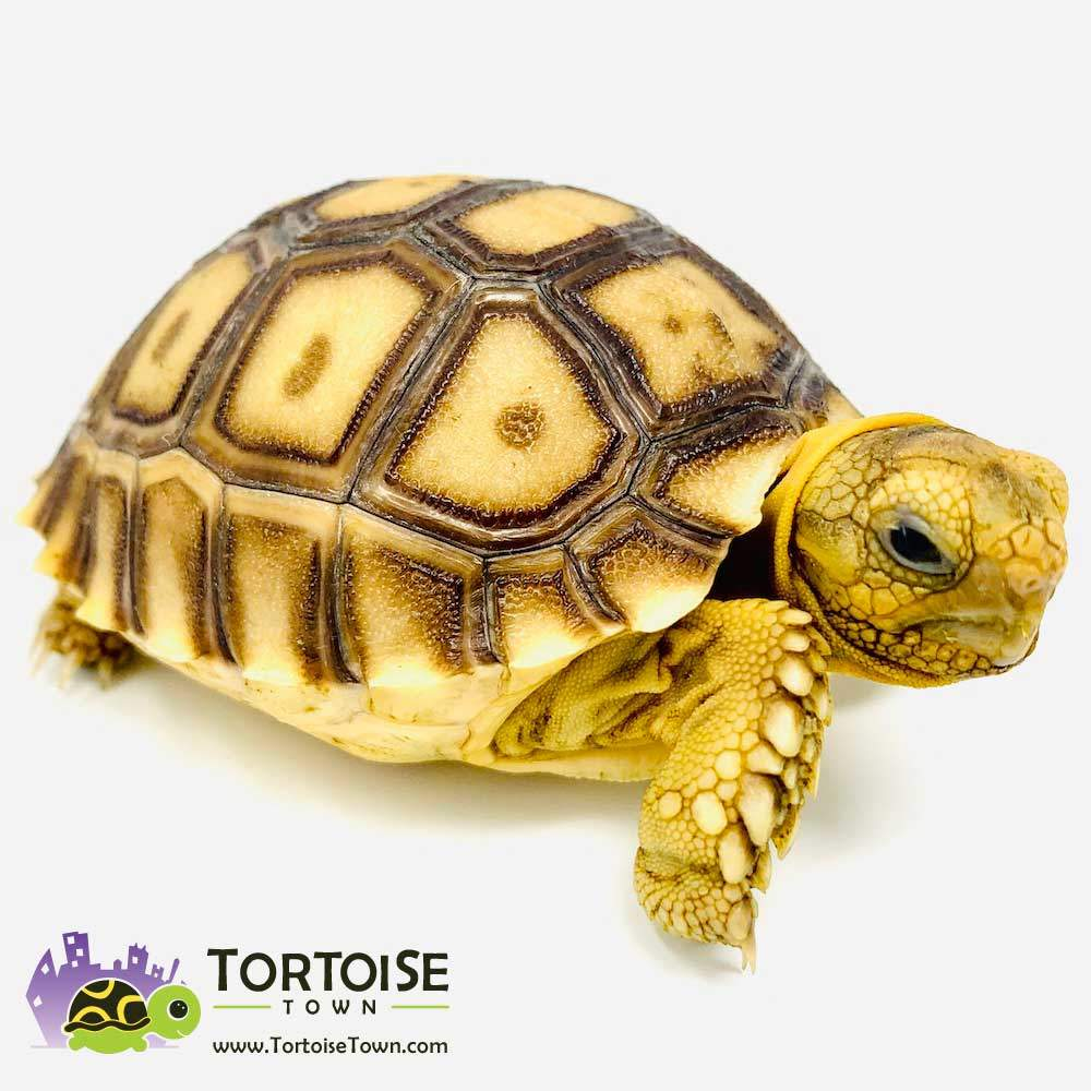 Sulcata Tortoise For Sale Online Overnight Shipping From Our Tortoise Farm