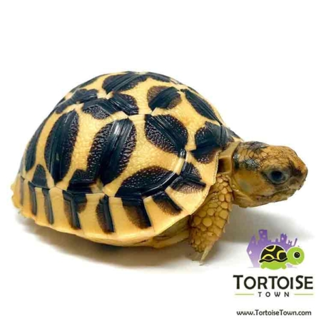 Sri Lankan Star tortoise for sale