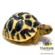 Sri Lankan Star tortoise for sale