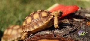 Sulcata tortoise care
