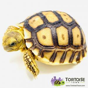 Sulcata tortoises for sale