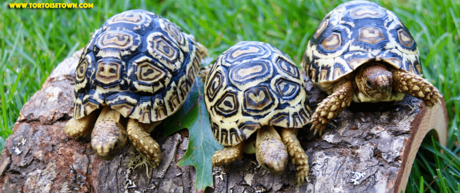 Leopard Tortoises For Sale