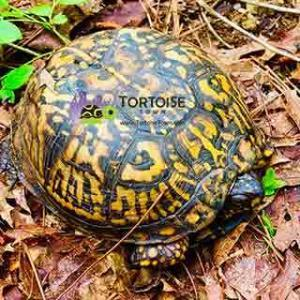 baby box turtle sale