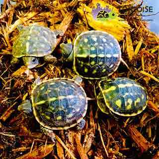 baby box turtles for sale