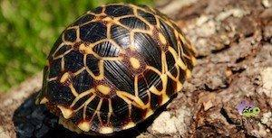 baby Burmese star tortoise for sale