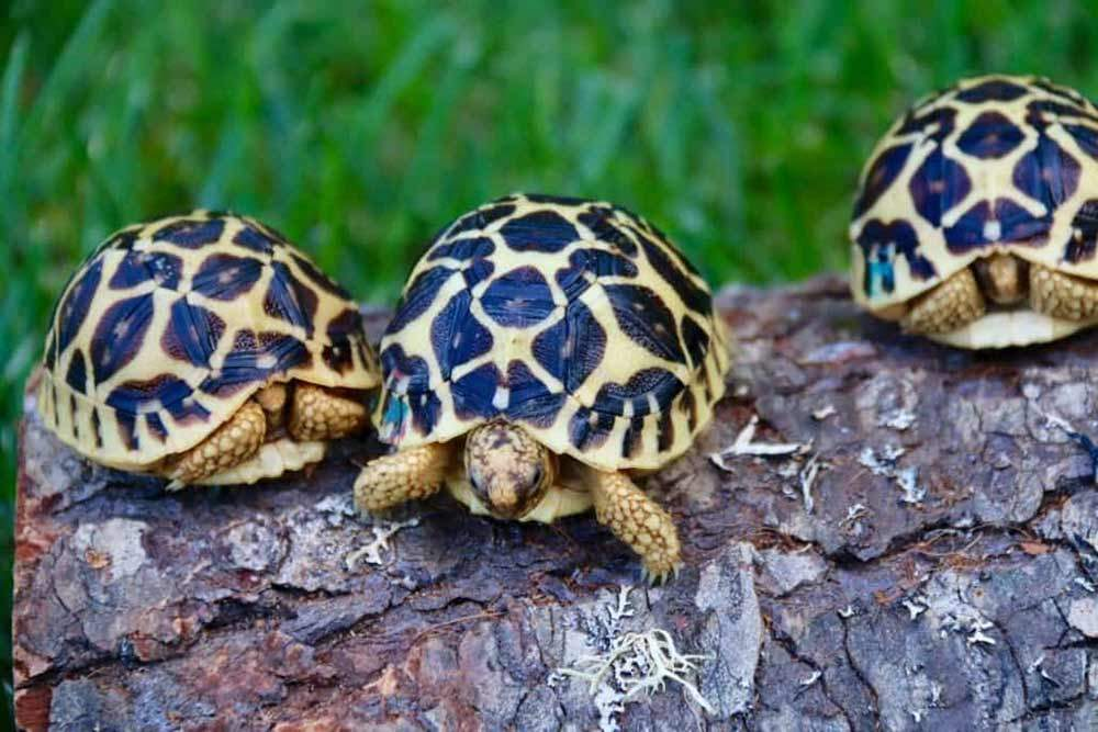 baby Indian Star tortoise for sale | Indian Star tortoises for sale online
