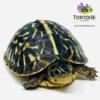 baby ornate box turtle