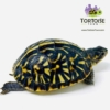 baby ornate box turtle for sale