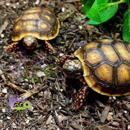 baby red footed tortoise for sale
