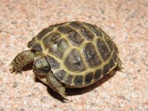 baby russian tortoise for sale