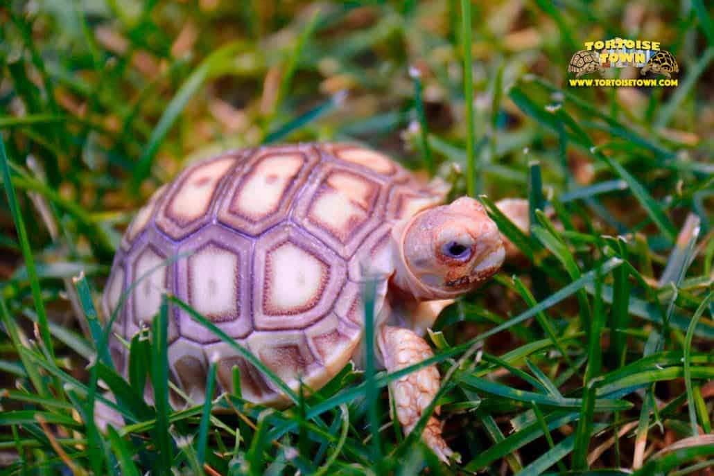 Sulcata Tortoise For Sale Baby Sulcata Tortoises For