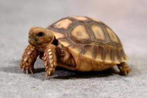 sulcata tortoise hatchling for sale