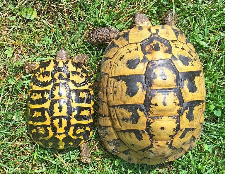 Western Hermann's Tortoise for sale baby hermanns tortoise ...