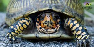 box turtle breeder