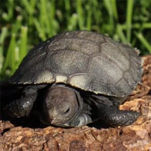 burmese mountain tortoise care