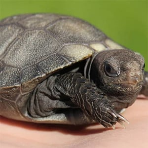 burmese mountain tortoise