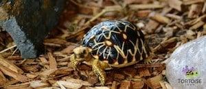 Burmese star tortoise breeder