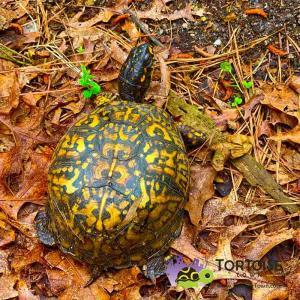 Box turtle breeders