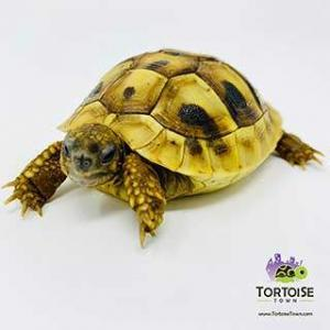 Eastern Hermanns tortoise