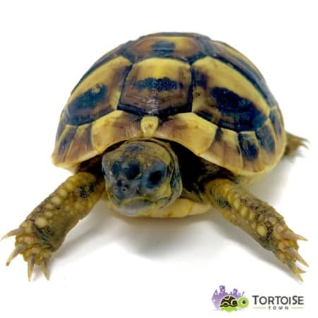 eastern hermann's tortoise for sale