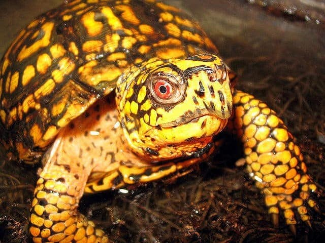 Eastern Box Turtles for sale