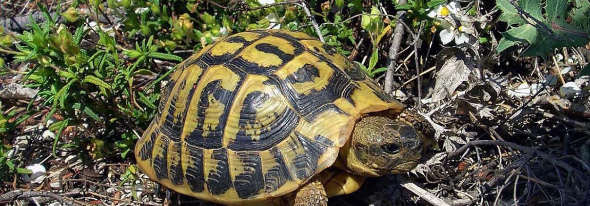hermman's tortoise for sale
