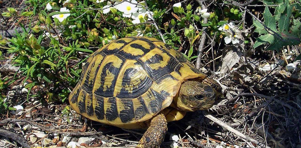 hermman's tortoise for sale