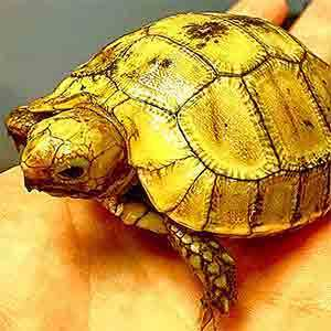 baby Elongated tortoise