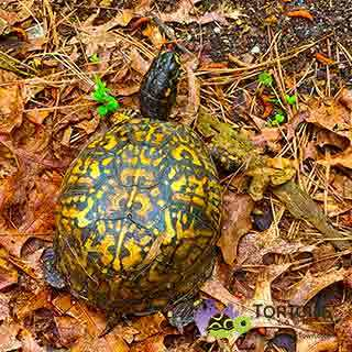 female eastern box turtle