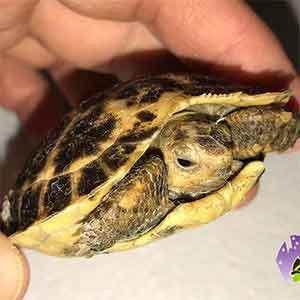 Foresten's tortoise