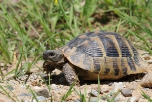 hermann's tortoises for sale