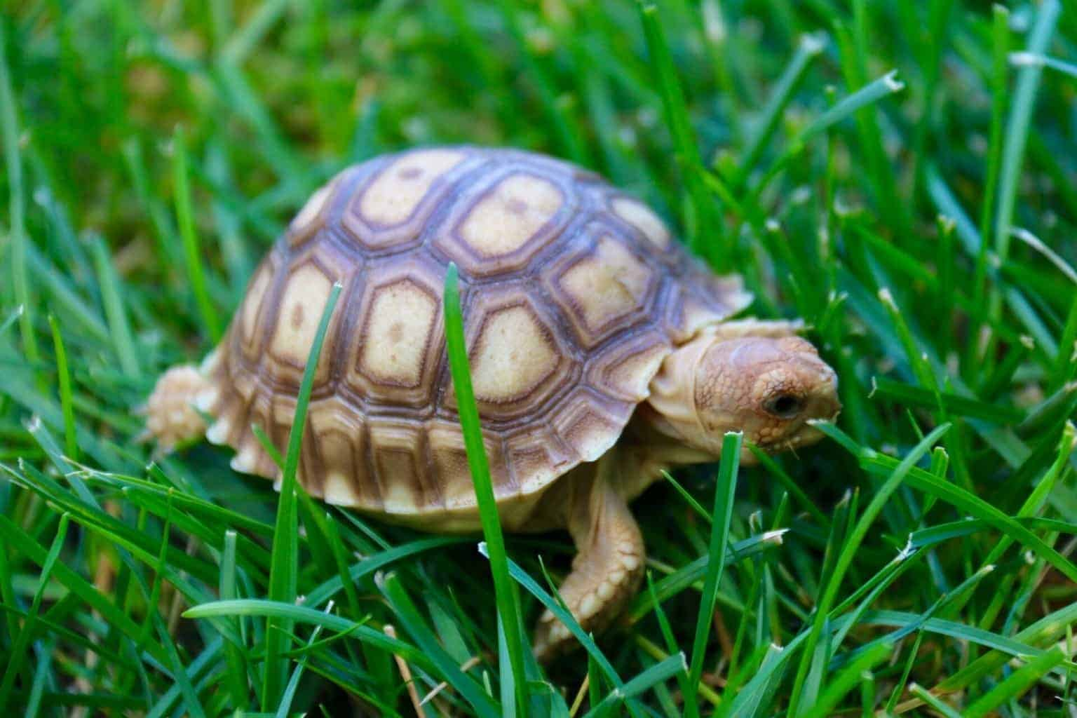 Sulcata tortoise for sale online | Overnight Shipping from our Tortoise Farm
